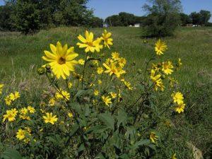 Topinambur Coltivazione, Raccolta e Conservazione