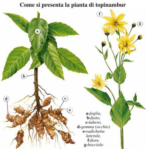 topinambur pianta