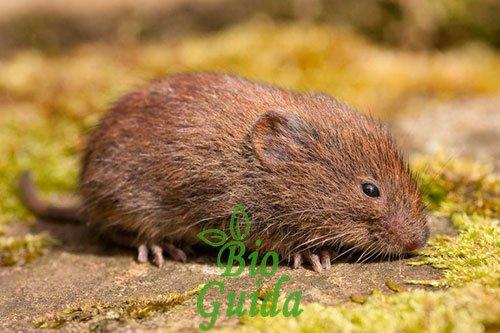 Arvicole e topi come difendere l'orto