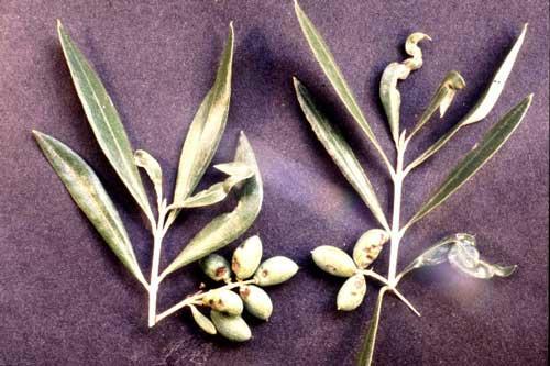 Malattie dell'ulivo Tripide