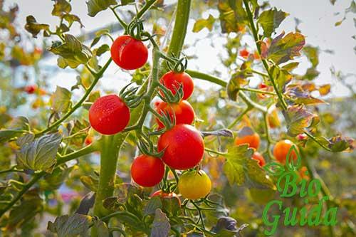 Coltivazione pomodoro