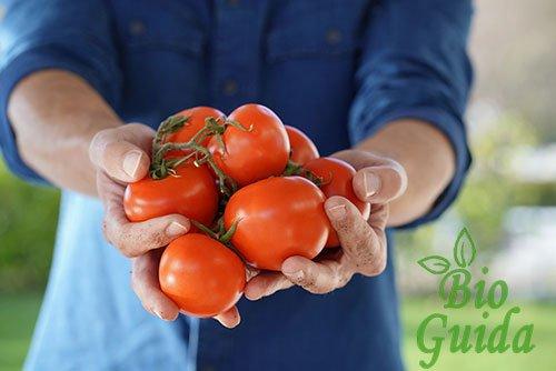 Coltivazione pomodori