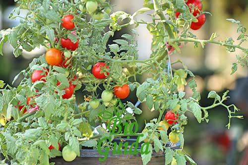 Malattie pomodori