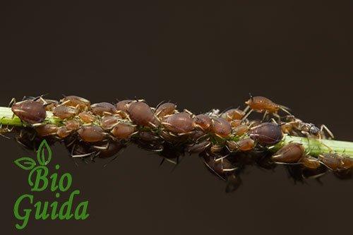 Afidi colonizzano un ramo di rosa