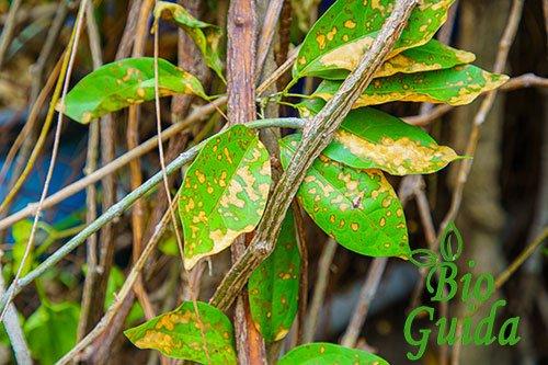 Danni degli afidi sulle piante