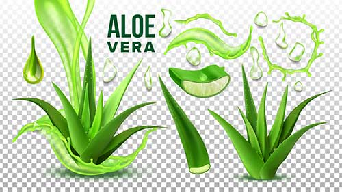 Aloe vera pianta succulenta