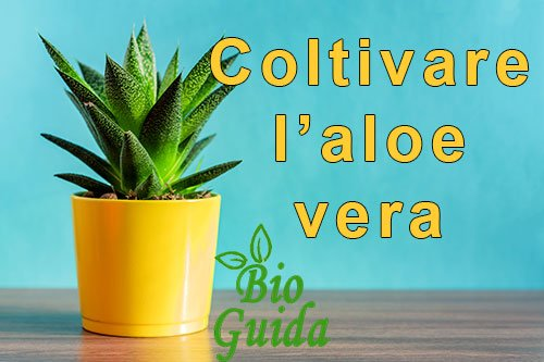 Aloe vera come coltivarla in casa